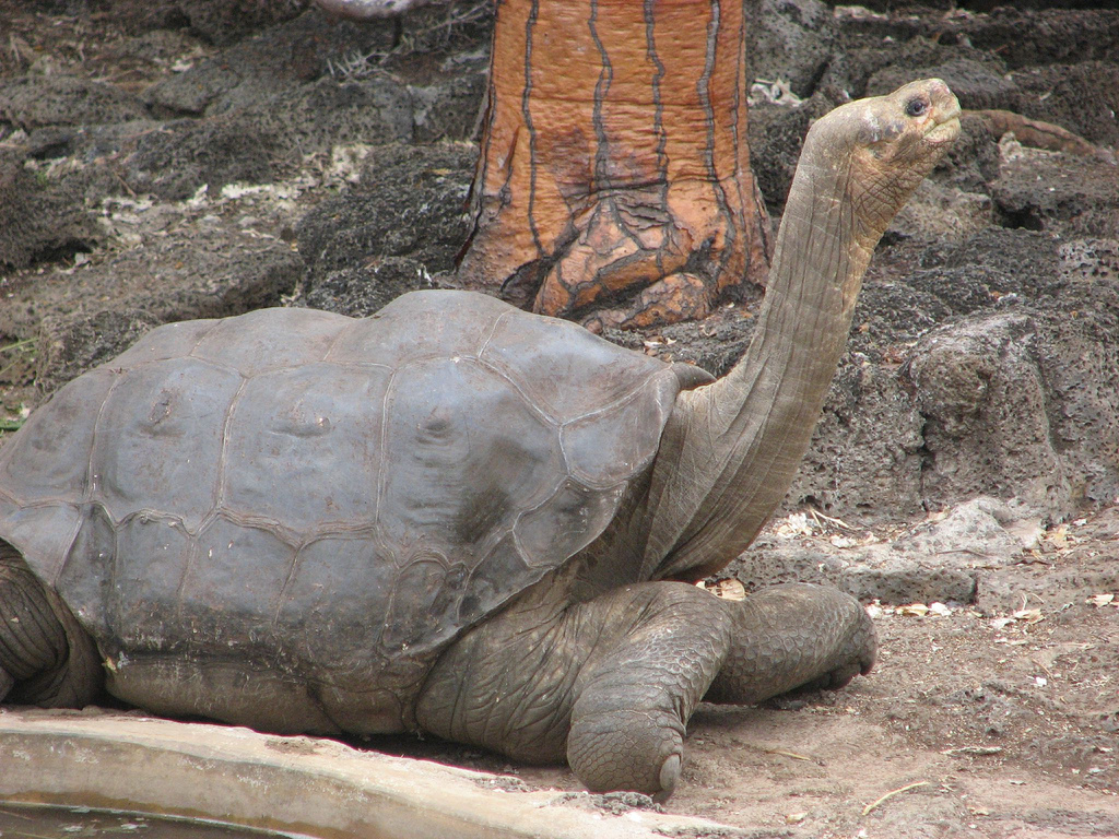 Lonesome_George_in_profile.png