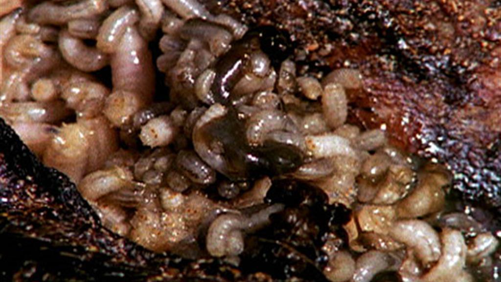 Maggots.jpg