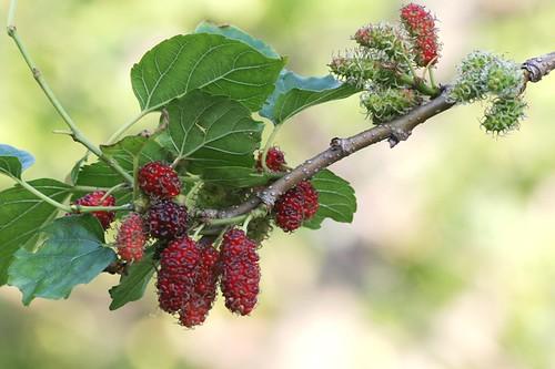 mulberry3.jpg