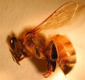 HoneyBeeAnatomy.jpeg